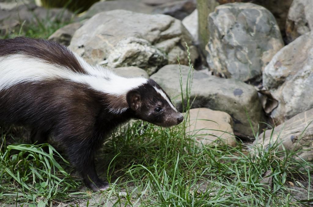 Skunk - Stinkdier